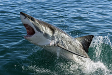 Fototapete - Great white shark