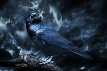 Fototapete - Black raven in moonlight perched on tree. Scary, creepy, gothic